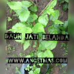 Bibit tanaman daun jati belanda