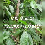 Bibit tanaman Ala Antong untuk bobok bayi