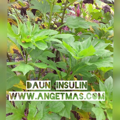 Jual bibit tanaman daun insulin