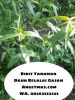Tanaman daun belalai gajah
