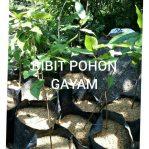 Bibit tanaman pohon gayam