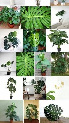 Bibit tanaman hias monstera