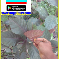 Bibit tanaman handeulium