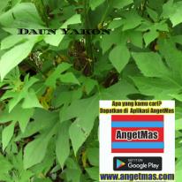 tanaman daun yakon atau insulin