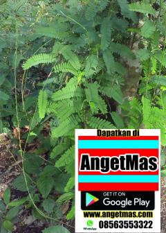 Tanaman daun saga