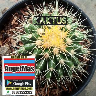 Tanaman bunga kaktus