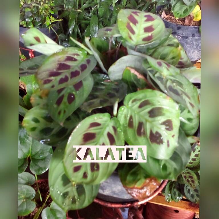 Tanaman kalatea atau calathea