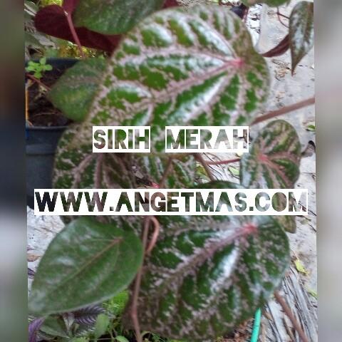 Bibit tanaman daun sirih merah