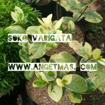 Tanaman bunga soko varigata
