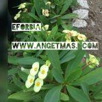 Bibit Tanaman bunga Eforbia