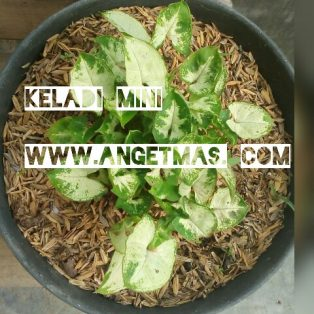Bibit tanaman keladi mini