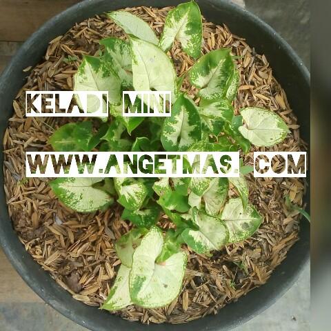 Jual bibit tanaman keladi mini