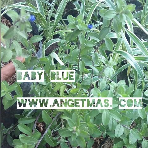 Tanaman baby blue
