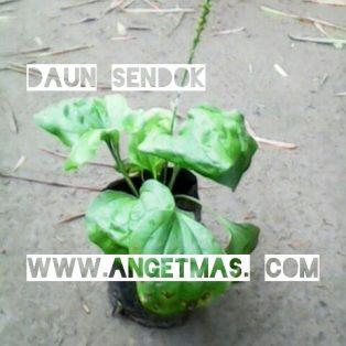 Bibit tanaman daun sendok atau ki urat