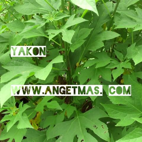 Jual bibit tanaman yakon atau insulin