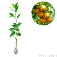 Bibit tanaman buah jeruk siam madu