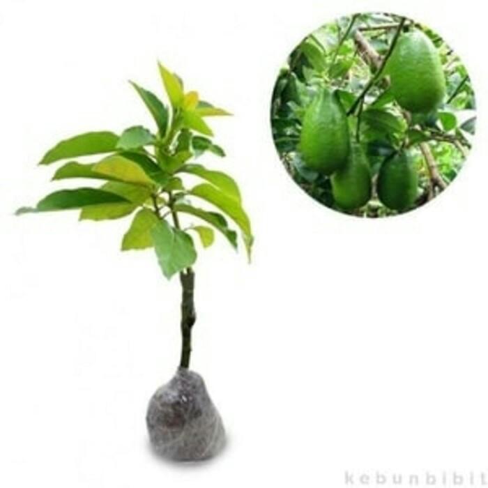 Tanaman buah alpukat tanpa biji