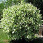 Bibit tanaman beringin putih