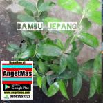 Bambu dracena jepang