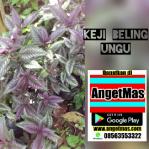 Bibit Tanaman Keji beling ungu / Pecah beling ungu