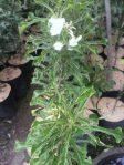 Tananan bunga pagoda