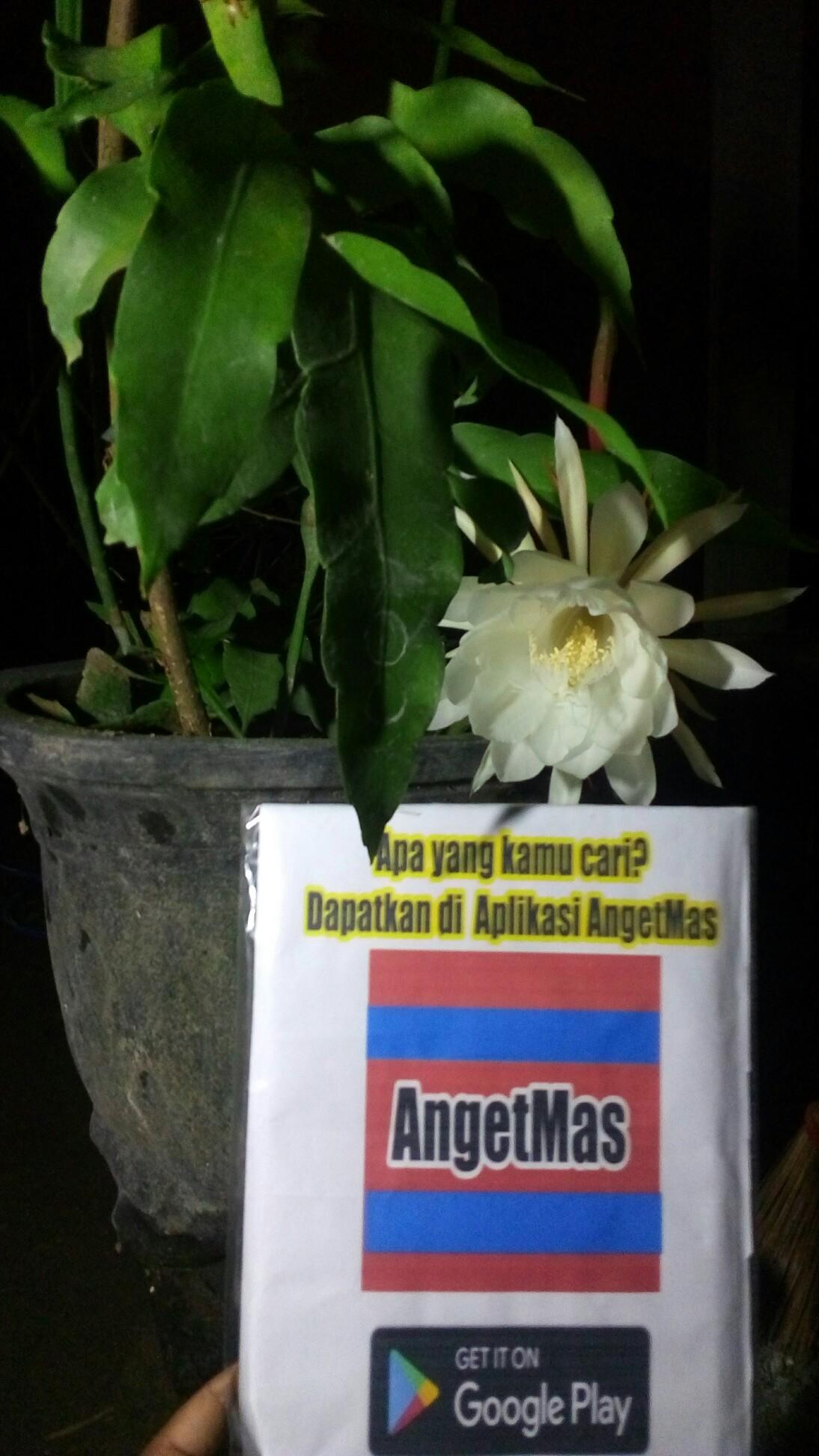 Jual tanaman hias wijaya kusuma