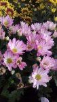 Tanaman bunga seruni atau krisan