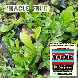Tanaman miracle fruit