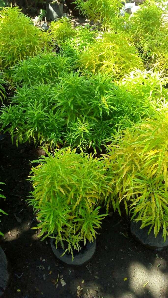 harga tanaman hias bunga brokoli kuning