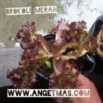 Tanaman brokoli merah