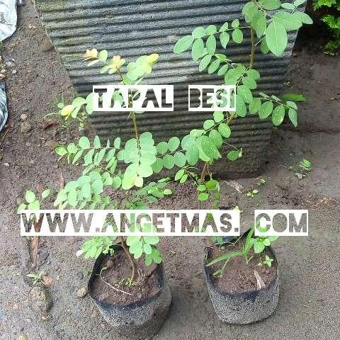 tumbuhan tampal besi
