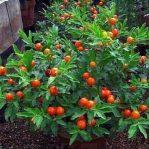Tanaman tomat krismil