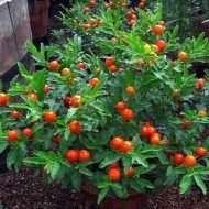 tomat krismil