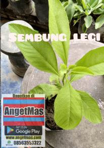 tanaman sembung legi