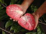 Tanaman buah sirsak merah