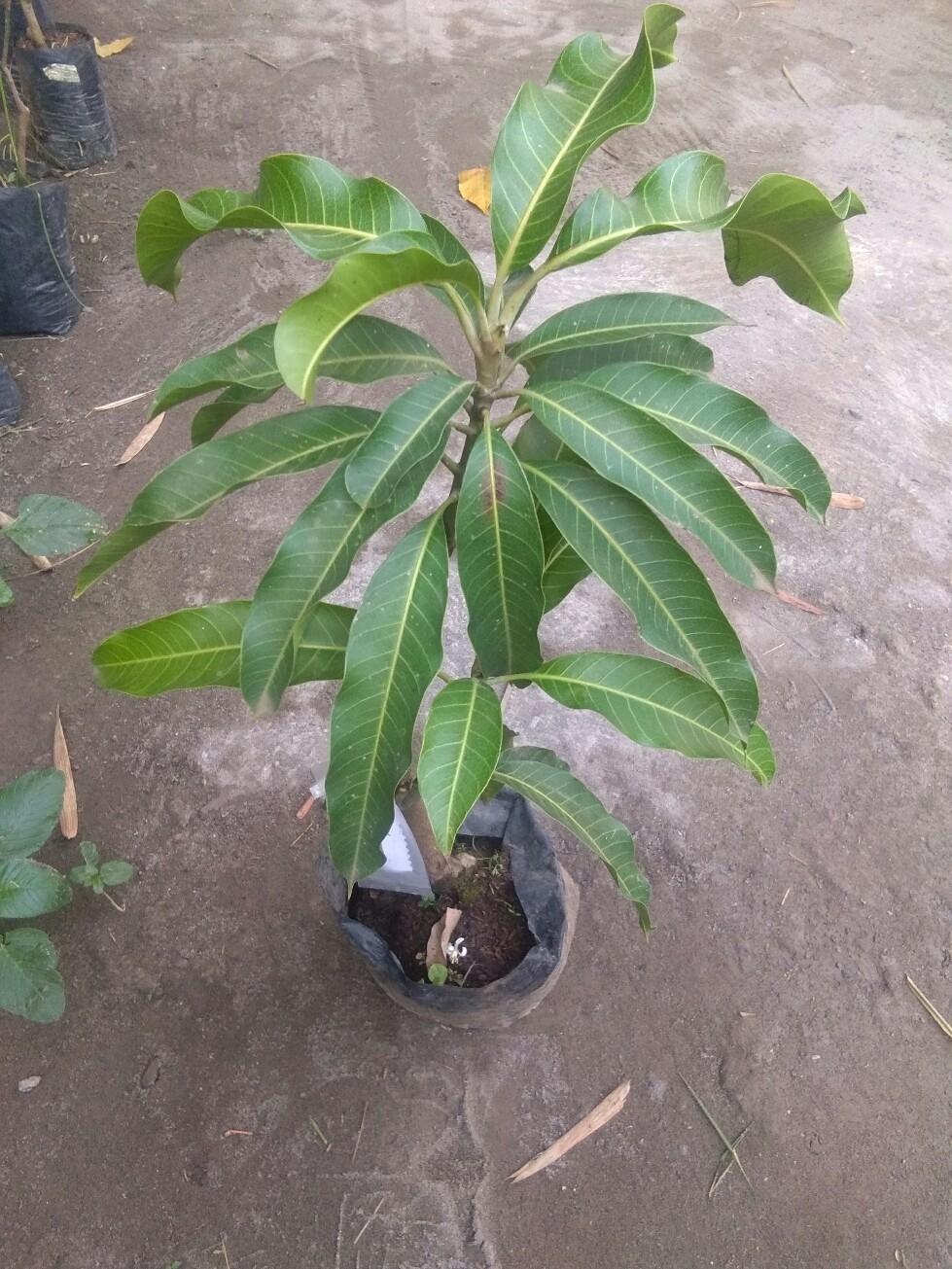 Tanaman buah mangga irwin tinggi tanaman skitar 60cm