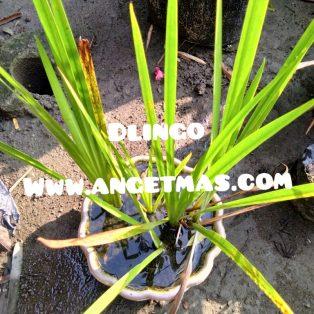 Bibit tanaman dlingo