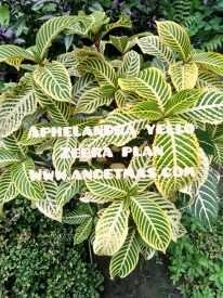 tanaman aphelandra yello zebra plan
