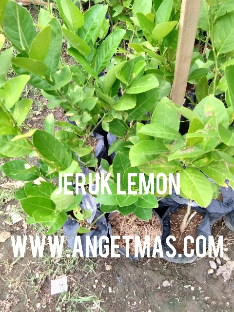 tumbuhan jeruk lemon