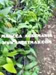 Bibit tanaman buah mangga agremania