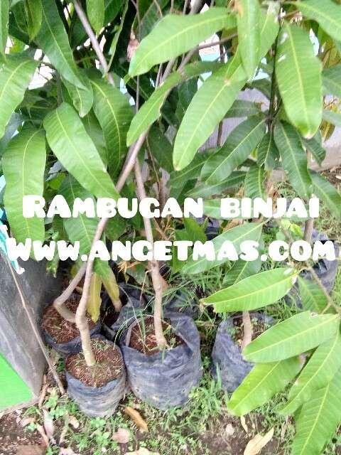 tanaman buah rambutan binjai