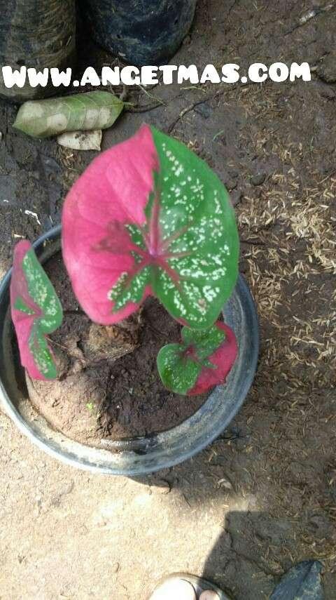 Bibit tanaman keladi batik