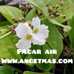 bibit tanaman bunga pacar air