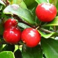 buah-beach-cherry
