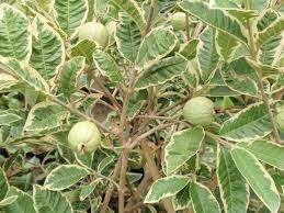 jual tanaman buah jambu kerikil