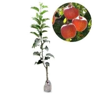 bibit tanaman buah pael ana