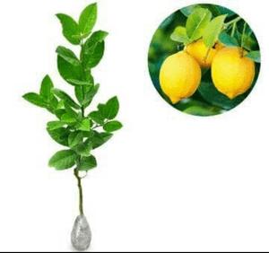 jual bibit tanaman lemon tin manis hasil okulasi
