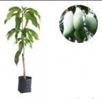 bibit tanaman buah mangga okyong