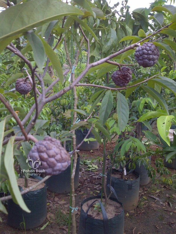 jual tanaman buah sirkaya merah