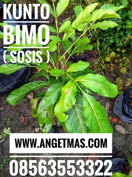 tanaman phon sosis